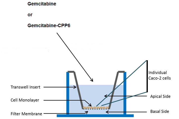 Permeability evaluation of gemcitabine-CPP6 conjugates in Caco-2 cells